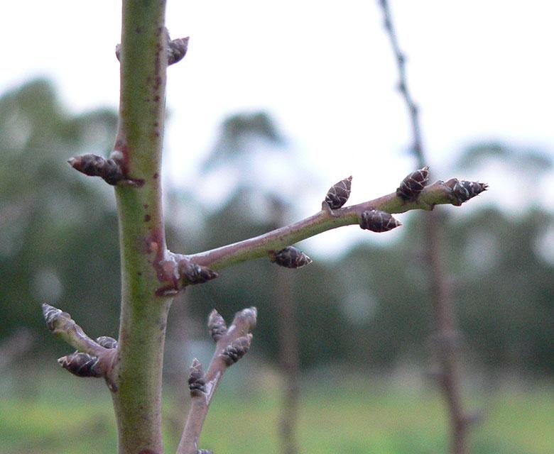 Mondo Nougat Almond Tree